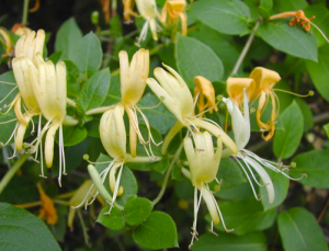 Honeysuckle (google images)