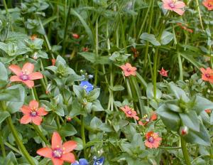 Scarlet Pimpernel (google images)