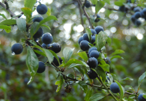 Sloes (google images)