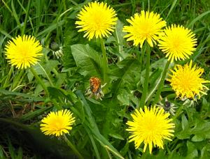 Dandelion (google images)